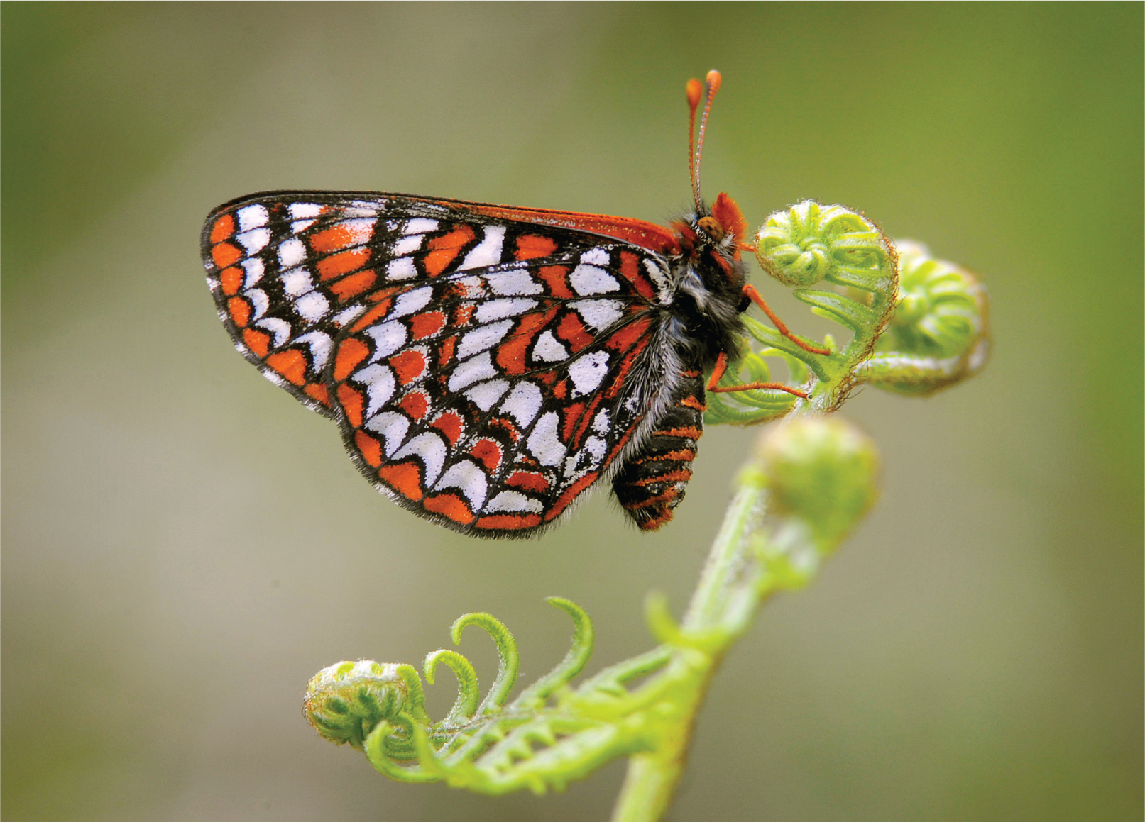hcp-species-Butterfly.png