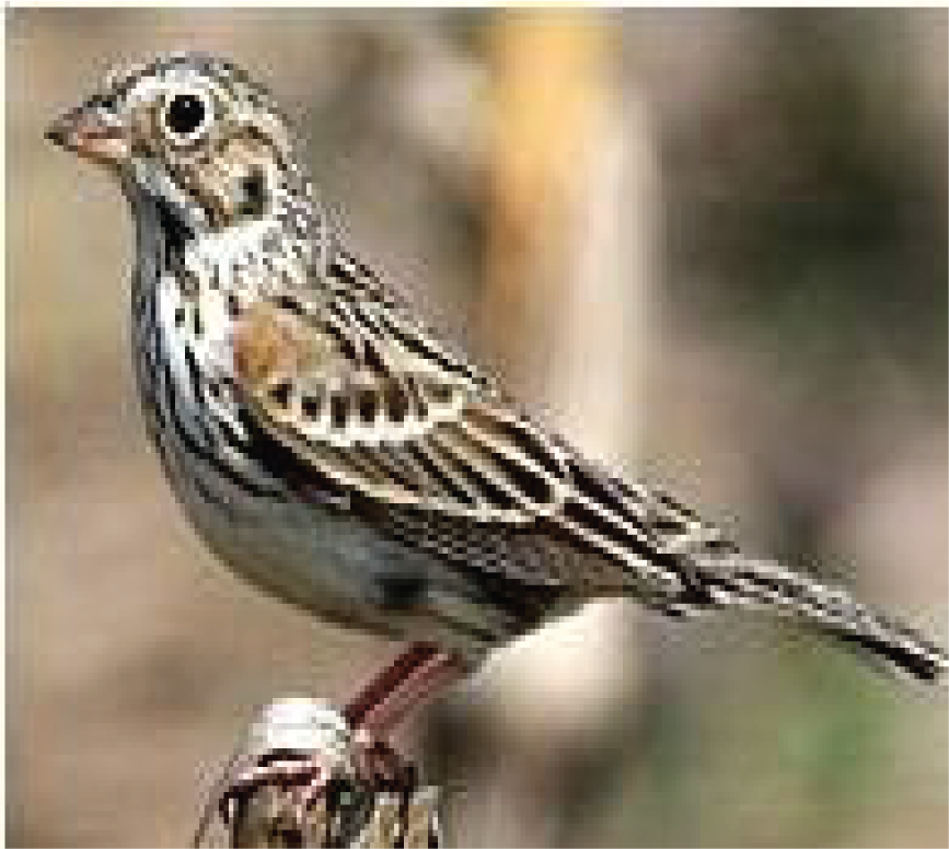 hhcp-species-Oregon-vesper-sparrow.png